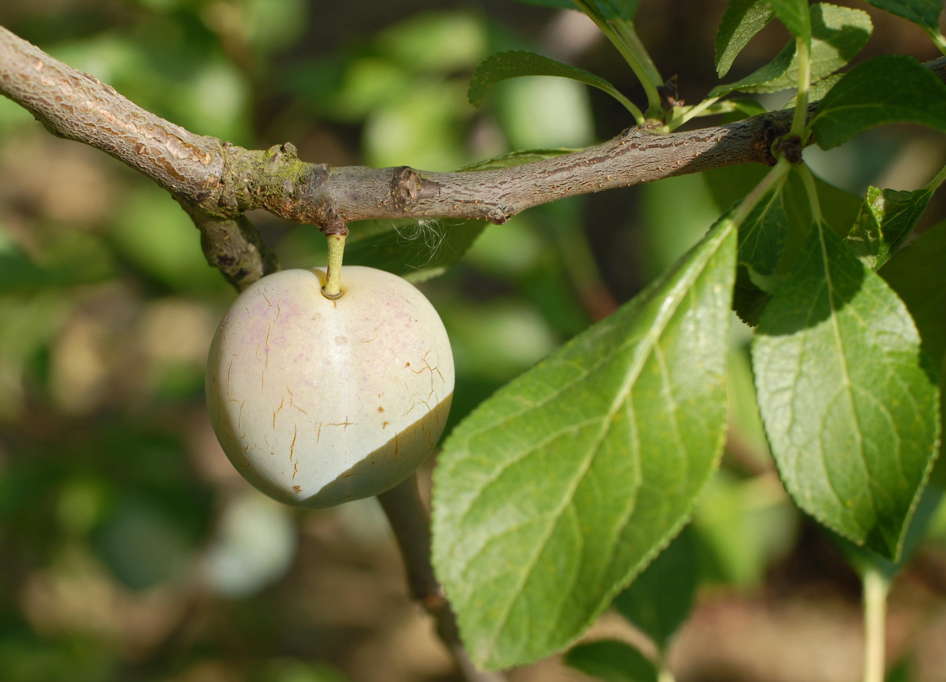 la prune philibon